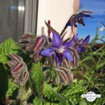 Borretsch (Borago officinalis) konventionell #2
