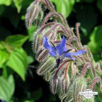 Borretsch (Borago officinalis) konventionell #0