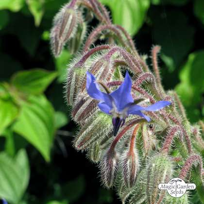 Borretsch (Borago officinalis) konventionell
