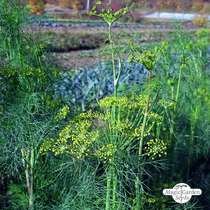 Dill (Anethum graveolens) konventionell #3