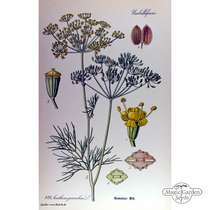 Dill (Anethum graveolens) konventionell #4