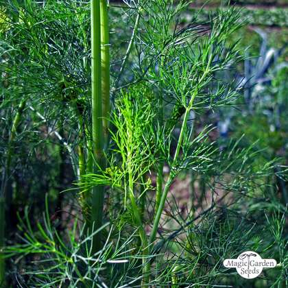 Dill (Anethum graveolens) konventionell