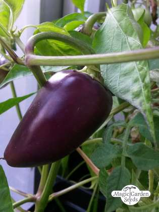 Chili 'Czech Black' (Capsicum annuum)