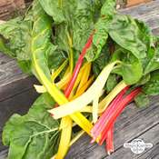 Bunter Mangold 'Five Colours' (Beta vulgaris ssp.vulgaris) Bio